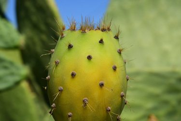 cactus de nopal