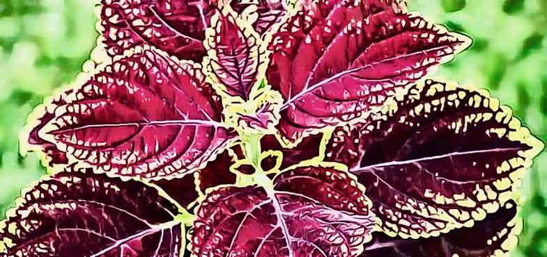 forskolin planta